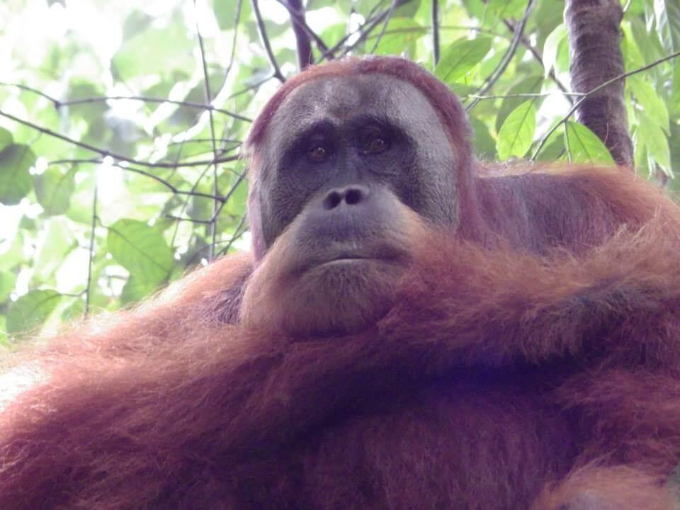 An Orangutan in Sumatran Jungle