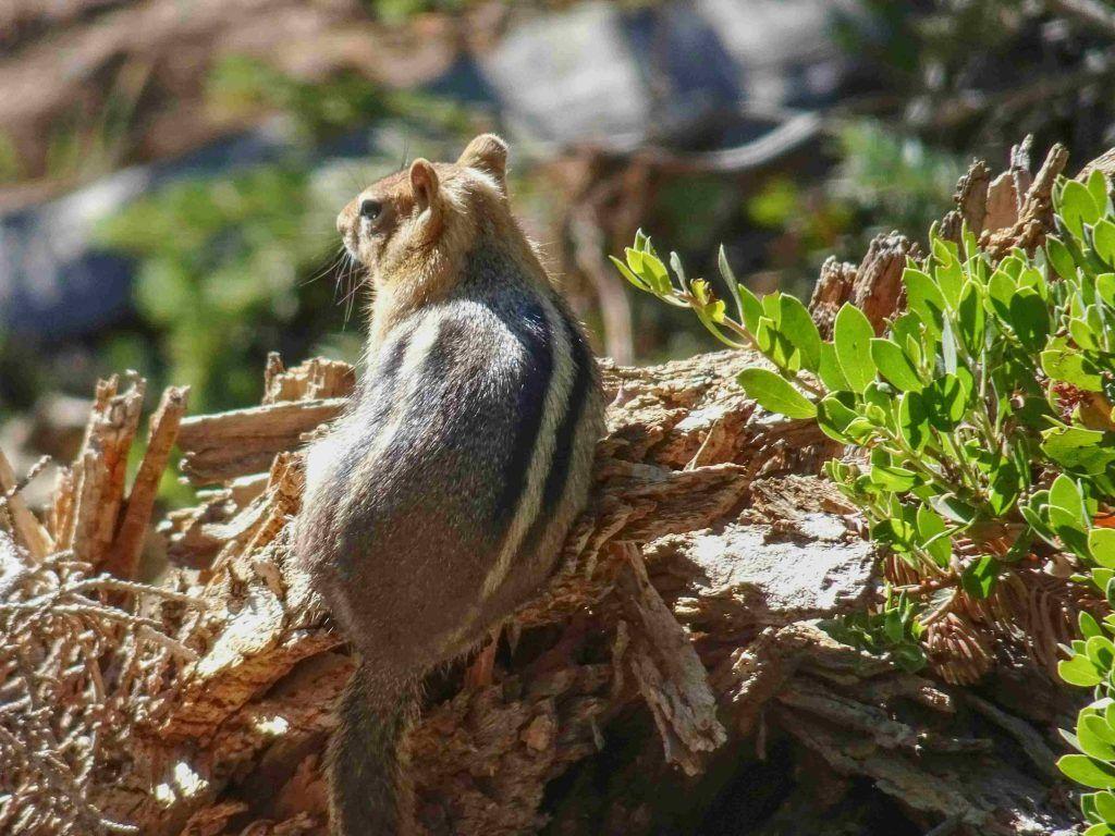 Chipmunks in Lassen