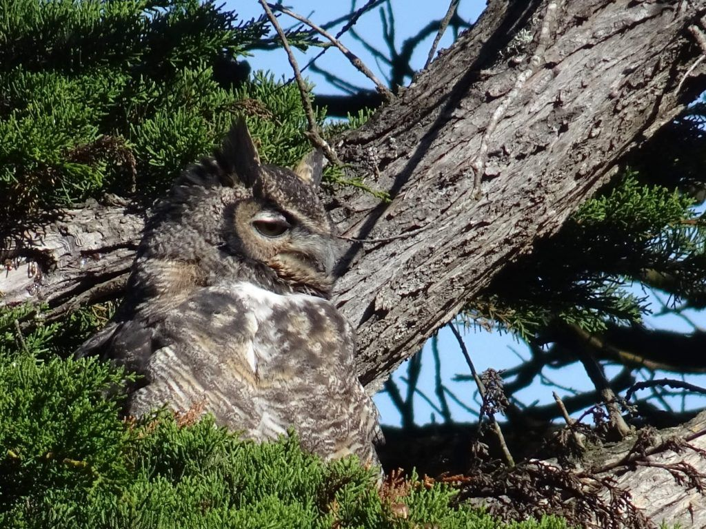 Point Reyes National Seashore-an owl chilling in a tree