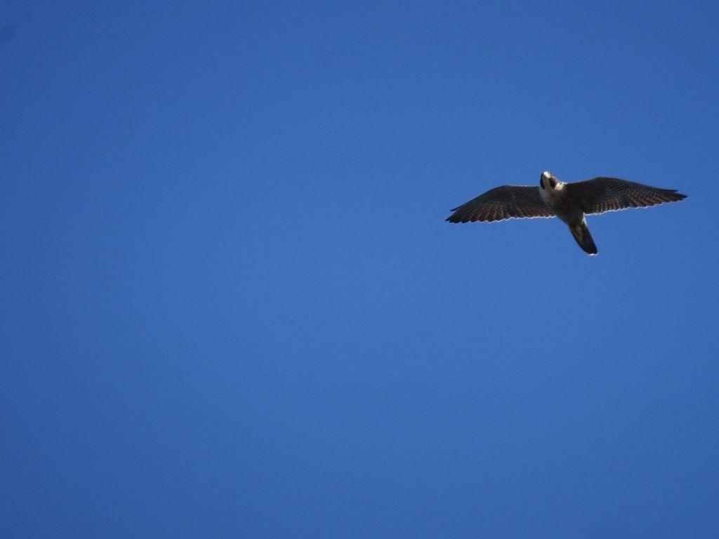 Point Reyes National Seashore-a falcon