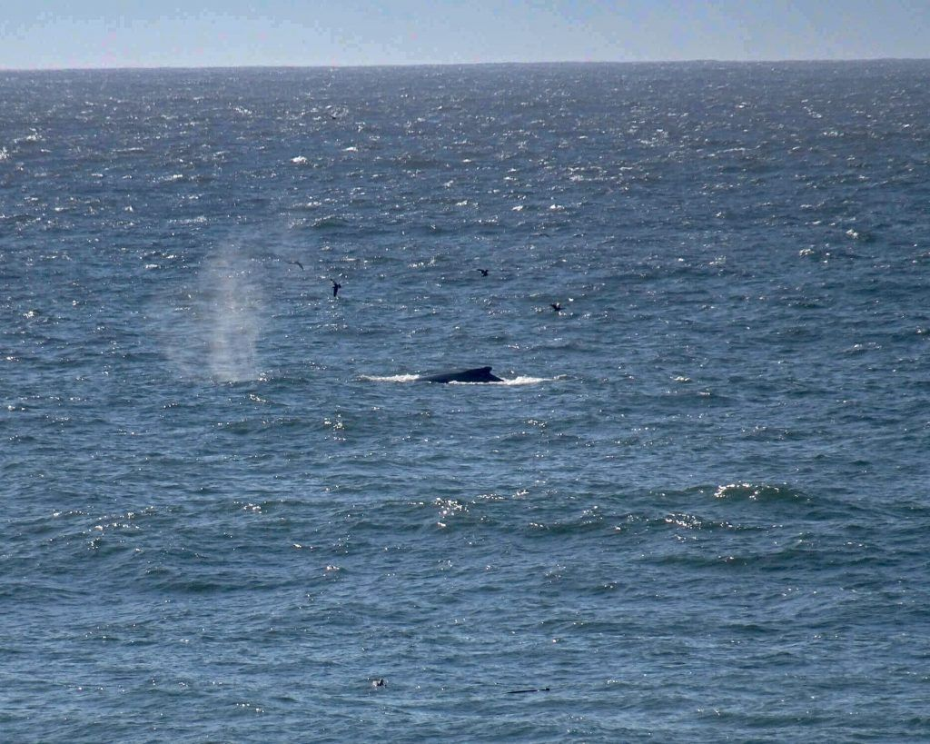 Point Reyes National Seashore-a humpback of a humpback whale