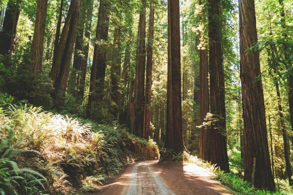 redwood national and state parks guide-coastal redwoods