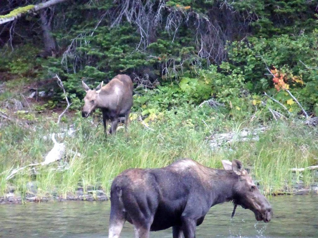 Camping in Glacier National Park-mama moose with her calf